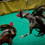 Cara Memilih Ayam Aduan