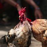 Memaksimalkan Keuntungan Bermain Sabung Ayam Online