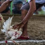 Permainan Judi Sabung Ayam S128